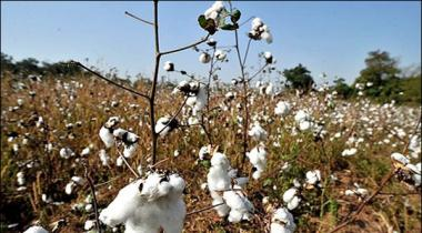 Cotton Rates And Prices Stable In Local Market