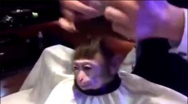Hair Cutting Say Mutasir Bandar Ki Dilchaps Video Viral