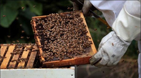 نیوزی لینڈ:شہد کی مکھیوں کے چور سرگرم
