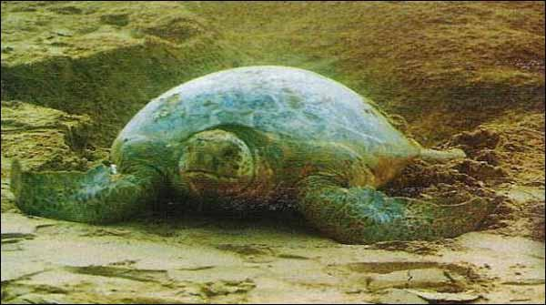 Green Turtle Stuck Into Pit At Karachi Beach