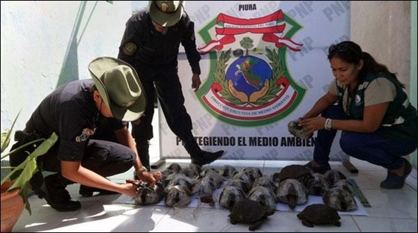 پرو: کچھوؤ کی اسمگلنگ کی کوشش ناکام