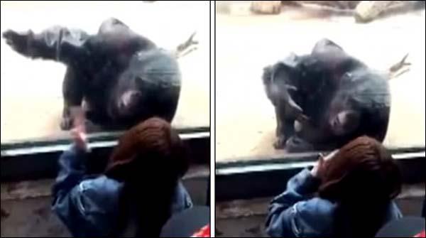 Cheen Kay Chirya Ghar Main Chimpanzee Ko Nai Dost Mil Gai