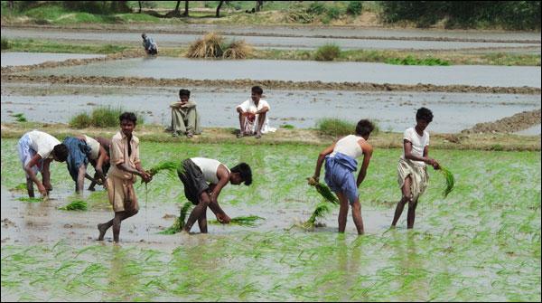 بدین : چاول کی بڑے پیمانے پر کاشت شروع