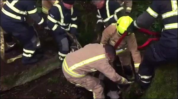 بھاری بھرکم چٹان کے نیچے پھنسنے والے بچھڑے کو بچا لیا گیا