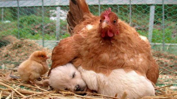 مرغی کے اندر چھپی انوکھی