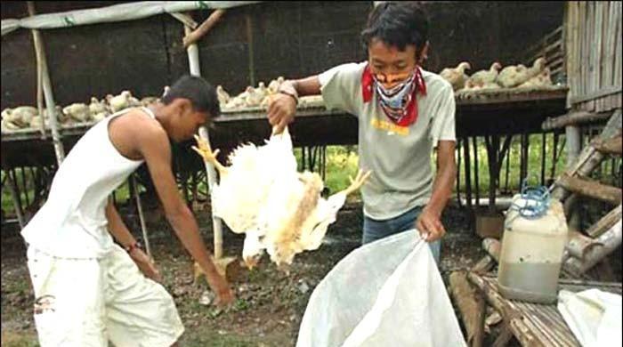 فلپائن: برڈ فلو، 4 لاکھ پرندے تلف کرنے کا اعلان