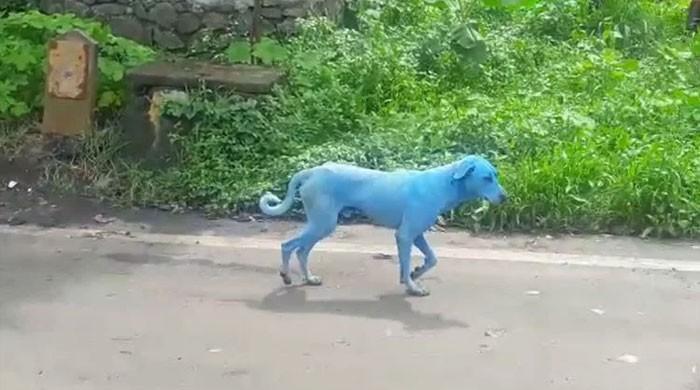 بھارت میں آلودگی کے باعث کتے بھی نیلے ہونے لگے