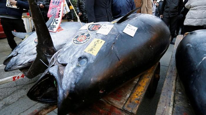 جاپان میں 405 کلو وزنی ٹیونا مچھلی 3 کروڑ سے زائد روپے میں نیلام