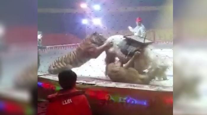 سرکس کی ریہرسل کے دوران شیر اور چیتے نے گھوڑے پر حملہ کردیا