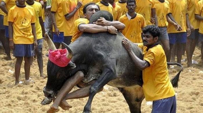 بھارت میں بیل  کے ساتھ دوڑنے کے خطرناک مقابلے کے دوران 5 افراد ہلاک