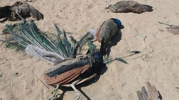 تھرپارکر میں پُراسرار بیماری سے 50 مور ہلاک