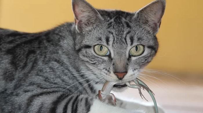 آسٹریلیا میں روزانہ 10 لاکھ سے زیادہ رینگنے والے جاندار بلیوں کی خوراک