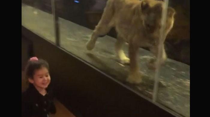 شیر اور ننھی پری کی انوکھی دوستی، دیکھنے والے بھی حیران