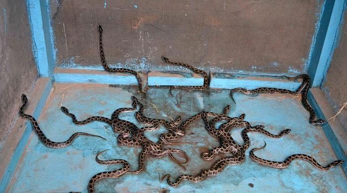 بھارت میں اسکول کے باورچی خانے سے 60 زہریلے سانپ برآمد