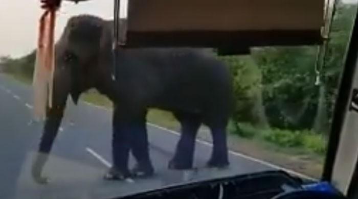 سری لنکا میں بھوکے ہاتھی نے کیلے چرا لیے