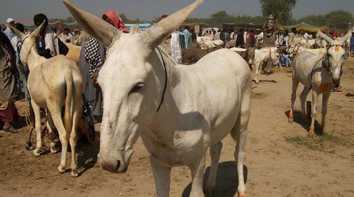 حکومت پنجاب نے لاہور میں گدھوں کا اسپتال بند کردیا
