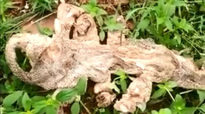 بھارت میں 7 سَروں والے سانپ کی جِلد کے چرچے