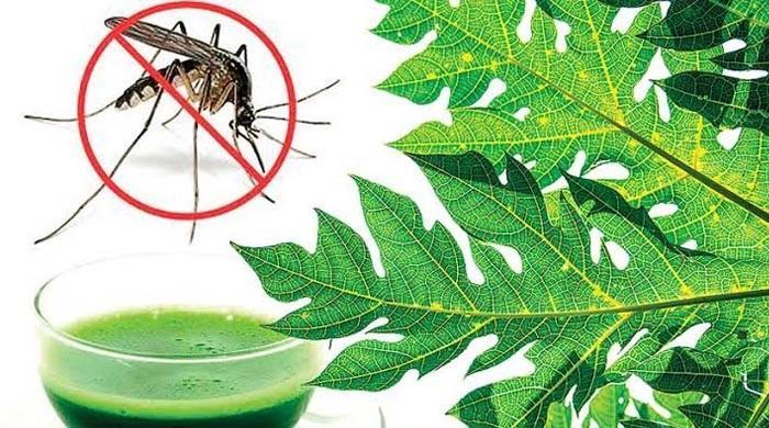 جانیے! کیا پپیتے کے پتوں سے ڈینگی بخار کا علاج ممکن ہے؟