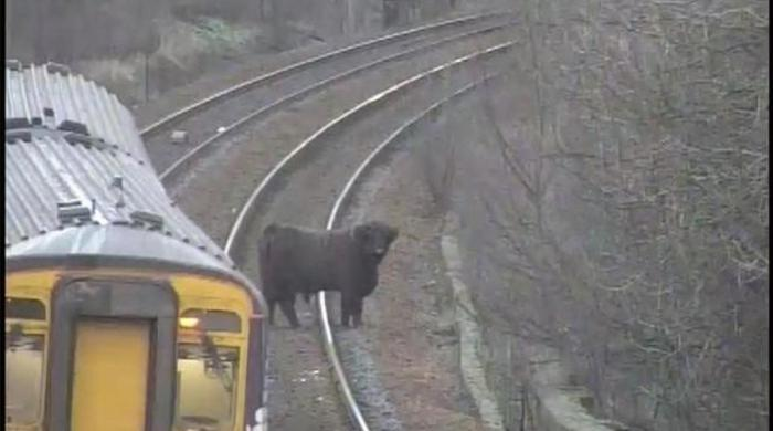 گائے نے مسافر ٹرین روک دی، محکمہ ریلوے کی معذرت