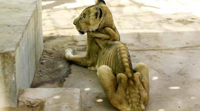 پارک میں قید 5 شیر شدید غذائی قلت کا شکار