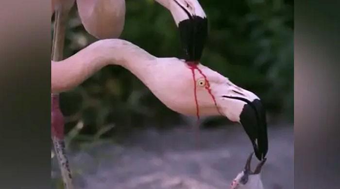 کیا آپ بھی سمجھتے ہیں کہ یہ پرندے لڑ رہے ہیں؟