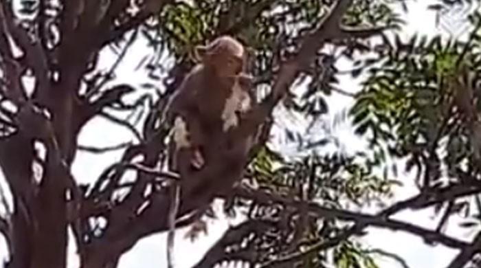 بھارت میں بندر لیب اسسٹنٹ سے کورونا مریضوں کے ٹیسٹ سیمپلز چھین کر فرار