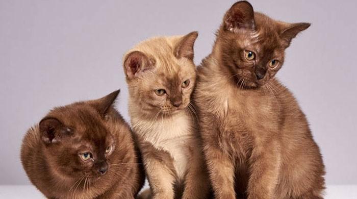 بلیاں پالنے کے شوق سے تنگ آکر شوہر نے بیوی کو طلاق دیدی