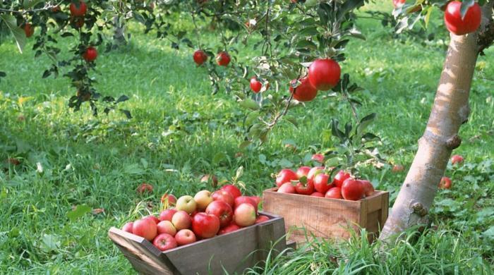 افغانی کے نام پر ایرانی سیب درآمد کرنے پر 22 امپورٹر، کسٹم ایجنٹ گرفتار