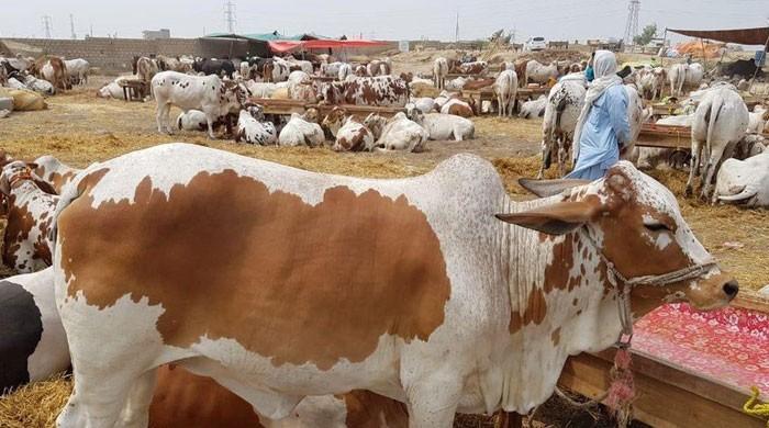 ملک بھر میں مویشی منڈیوں کے اوقات صبح 6 سے شام 7 بجے تک رکھنے کا فیصلہ
