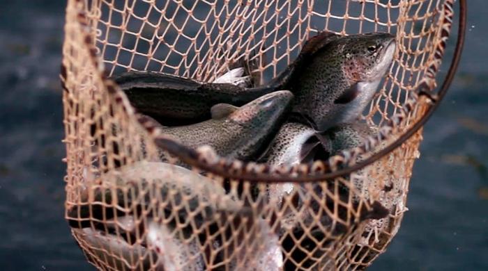اب سوات میں ٹراؤٹ مچھلی نہیں ملے گی؟