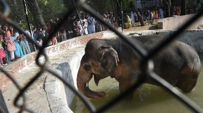 سری لنکا سے پاکستان پہنچنے والے ہاتھی 'کاوان' کی کہانی