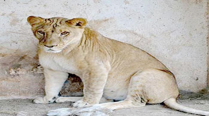 کراچی: گلشن حدید میں شیر کمپاؤنڈ سے باہر نکل آئے، علاقے میں خوف و ہراس