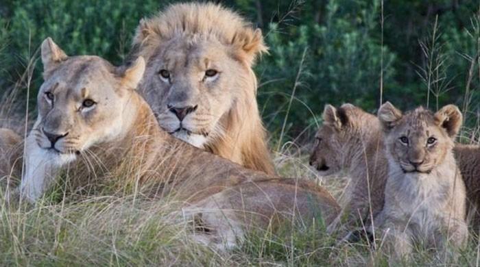 کراچی: محکمہ جنگلی حیات نے گھر میں رکھے گئے شیر تحویل میں لے لیے