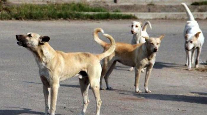نوشہرہ: بچوں اور خواتین کو آوارہ کتوں سے محفوظ کرنے کی جدوجہد کامیاب