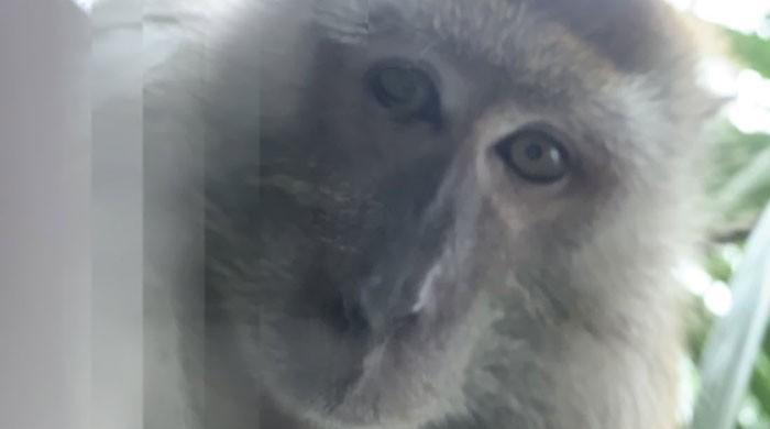 موبائل چور بندر بھی سیلفی بخار میں مبتلا