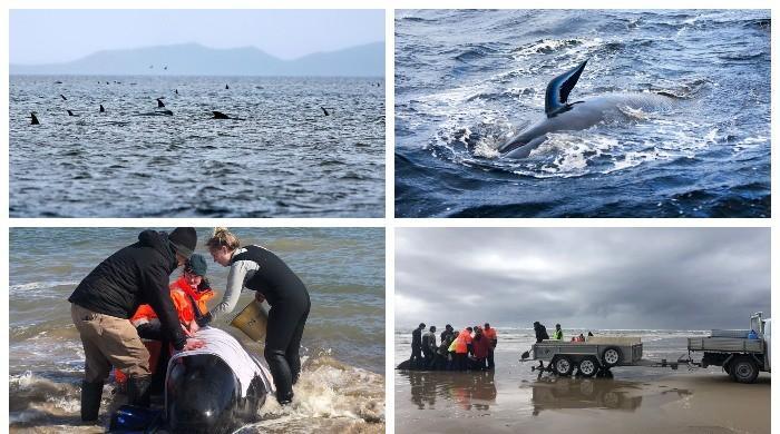 آسٹریلیا کے ساحل پر 380 وہیل مچھلیاں کیوں مر گئیں؟