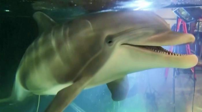 کیا روبوٹک ڈولفن اصل ڈولفن کی جگہ لے لے گی؟