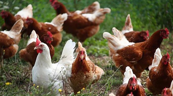برطانیہ: مرغیوں سے جنسی زیادتی، بیوی نے شوہر کو جیل کی ہوا کھلا دی