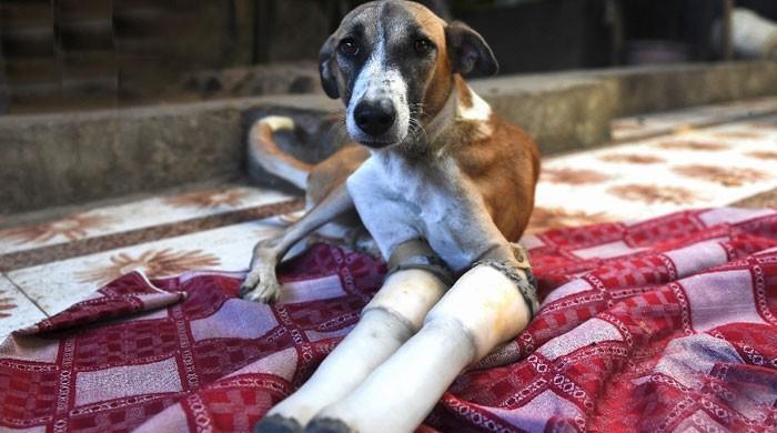 خوفناک حادثے کا شکار یہ کتا اب سکون کی زندگی گزارے گا؟