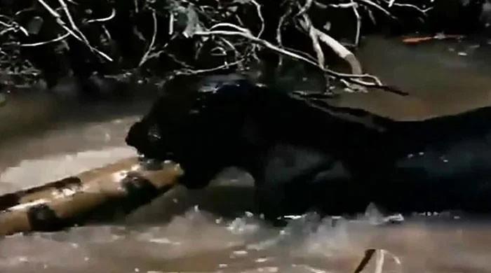 ویڈیو: جنگلی بلی کی دنیا کے سب سے بڑے سانپ کو کھانے کی کوشش