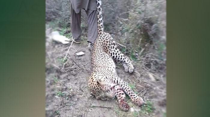 مانسہرہ میں آبادی میں گھس آنے والے تیندوے کو شہریوں نے ہلاک کردیا