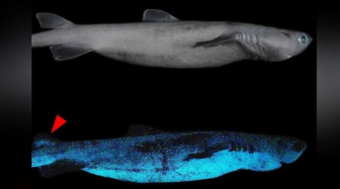 نیوزی لینڈ میں اندھیرے میں چمکنے والی شارک کی تین اقسام دریافت