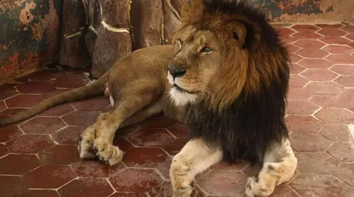سعودی عرب میں پالتو شیر نے مالک کو ہلاک کردیا