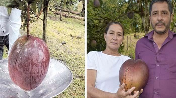 کولمبیا کے کسان نے دنیا کا سب سے وزنی آم پیدا کرکے ورلڈ ریکارڈ بنادیا