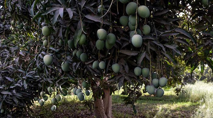 سندھ میں آم کے باغات میں بیماری پھیل گئی، پیداوار میں کمی کا خدشہ