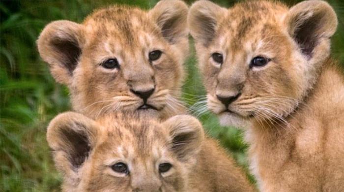 لاہور چڑیاگھر میں ماں کے دودھ سے محروم شیر کے بچوں کے بیمار ہونے کا خدشہ