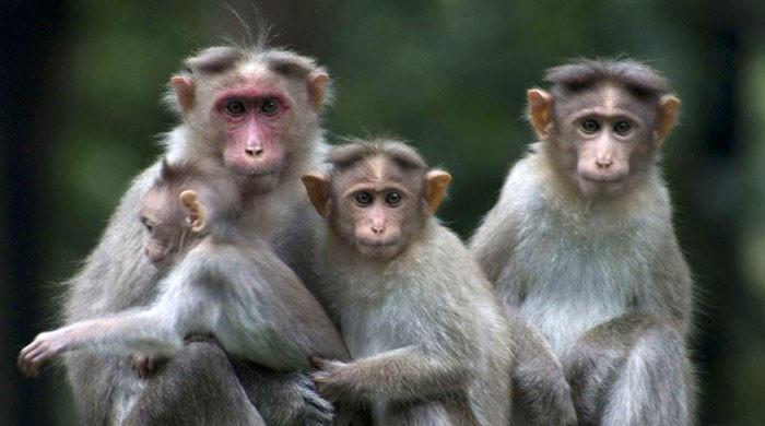 بھارت میں درجنوں بندروں کی موت کا حیرت انگیز   واقعہ