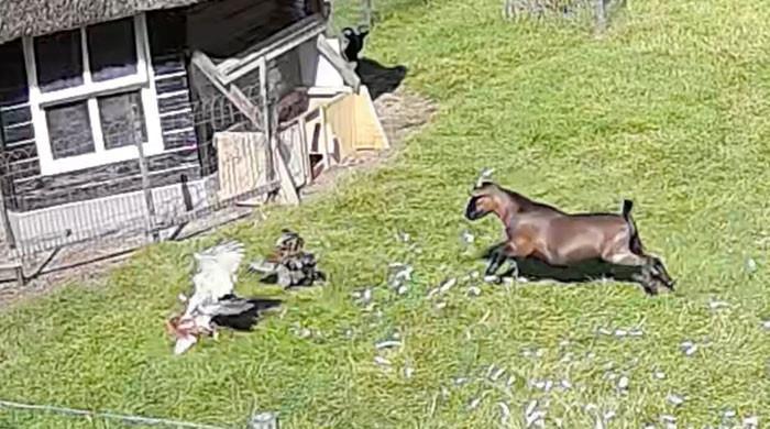 ویڈیو: مرغے اور بکرے نے مرغی کو باز کے پنجوں سے کیسے بچایا؟