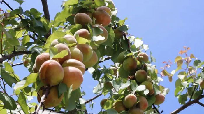 40 مختلف پھل دینے والا  'ایک  درخت'، منفرد کارنامہ ممکن کیسے ہوا؟
