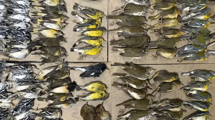 نیو یارک میں سیکڑوں پرندے گلاس ٹاورز سے ٹکرانے کے بعد مر جاتے ہیں